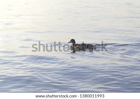 Duck on the river #1380011993