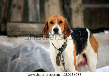Vyzhlovka Russian hound #1380186086