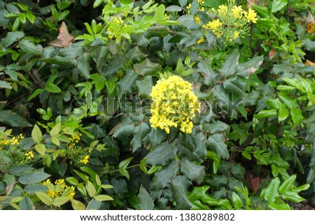 Yellow flowers in the leafage of Oregon grape in spring #1380289802