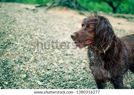 Brown hunting dog of the munsterlander breed small, with wet hair. #1380316277