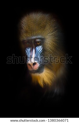 Sadness is sadness in the eyes. The pensive face of a madril monkey Rafiki close-up on a Isolated black background #1380366071