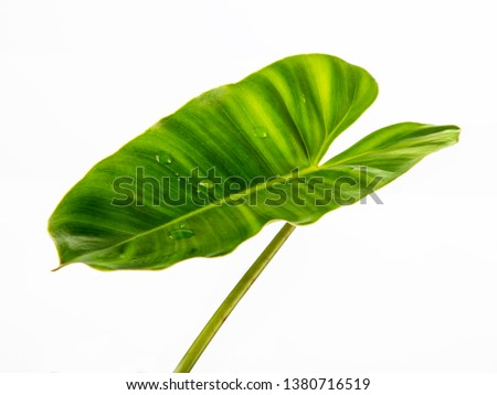 The heart shaped leafs are green,drops of water on the leaves, isolated on white background #1380716519