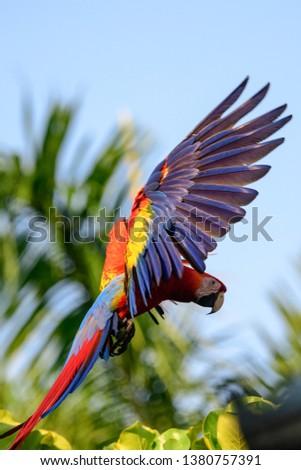 Scarlet macaw flying #1380757391