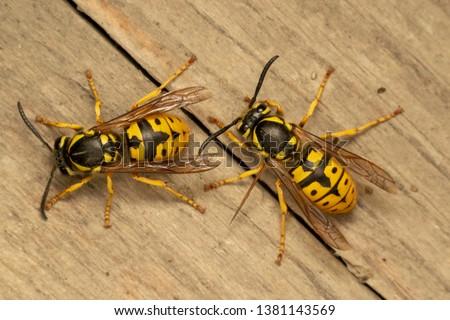 German yellowjacket, European wasp or German wasp (lat. Vespula  germanica), on a wooden board #1381143569