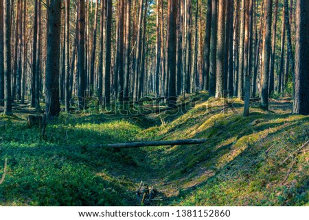 Spring pine forest in a light haze in spring in the sunlight as background #1381152860