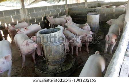 Pig fattening eat in groups in the house. #1381232165