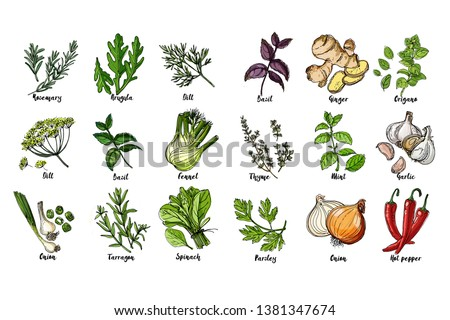 Herbs. Spices. Italian herb drawn black lines on a white background. Vector illustration. Basil, ginger, origano, Thame, mint, garlic, parsley, onion, hot pepper, rosemary, arugula, dill, basil #1381347674