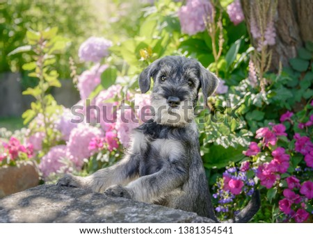 Standard Schnauzer puppy, 8 weeks old male dog, color salt-and-pepper wiry coat, sitting upright in a colorful flowering garden, this breed also known as Mittelschnauzer, Germany #1381354541