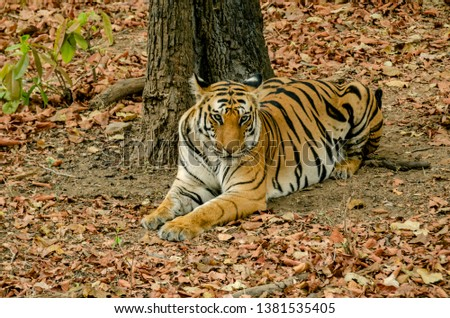 Tigress Spotty rests under a tree in Bandhavgarh Tiger Reserve. #1381535405