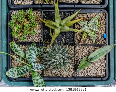 small succulent cactus on small pots in a store #1381868351