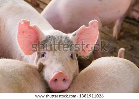 industrial pigs hatchery to consume its meat #1381911026