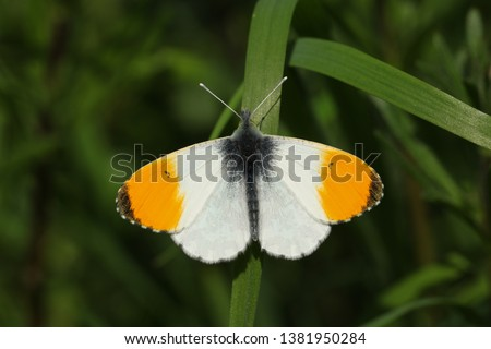 A newly emerged male Orange-tip Butterfly (Anthocharis cardamines) perched on a blade of grass.