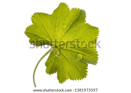 lady's mantle (Alchemilla vulgaris) - single leaf isolated on white background #1381973597