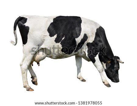 Cow full length isolated on white. Black and white cow, standing full-length in front of white background. Farm animals. #1381978055