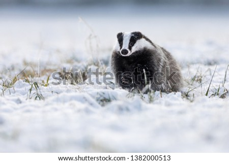 cute young badger running in snow in winter landscape #1382000513