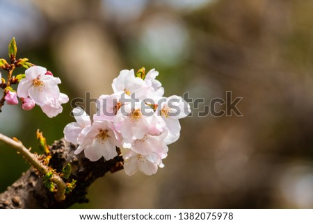 Cherry blossom in spring for background or copy space for text #1382075978