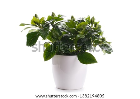 Gardenia in a modern white pot, isolated over white background #1382194805