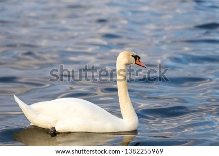 Close-up portrait of a white Swan on the water. #1382255969