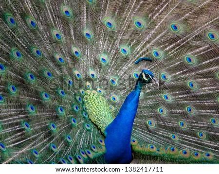 peacocking peacock portrait in full plumage #1382417711