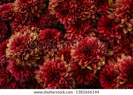 Close up of dahlia flowers processed to get a dark red and yellow moody effect. Texture, patterns.