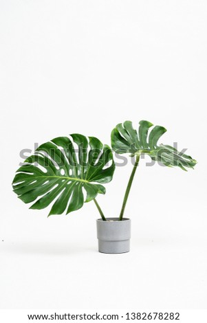 Assort natural Monstera leaves in concrete like bucket. white back ground #1382678282