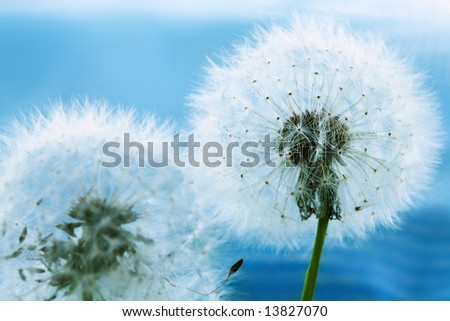 Two dandelions against the blue sky background #13827070