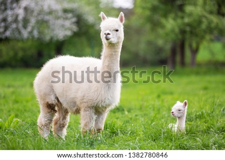 White Alpaca with offspring, South American mammal Royalty-Free Stock Photo #1382780846