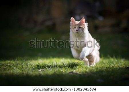 young cream tabby maine coon cat running in the sunlight in the garden #1382845694