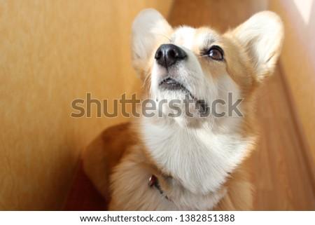 A picture of a dog Pembroke Welsh Corgi, nickname: Rocket