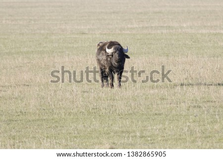 Water buffalo (Bubalus bubalis) on a the pasture.  #1382865905