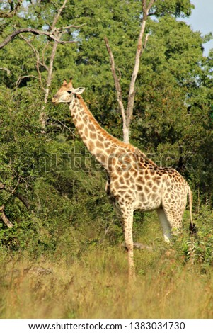 A giraffe in a South African game reserve, #1383034730