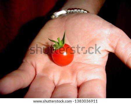 Closeup of a just picked red ripe summer cherry tomato in hand ready to eat #1383036911