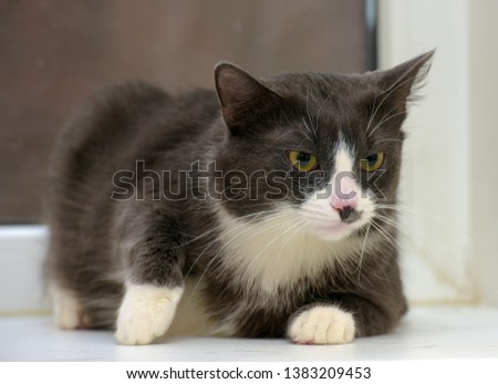 gray with white plump cat portrait #1383209453