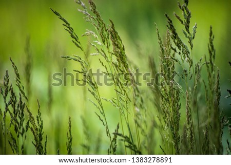 Wild plant on meadow with green grass background, sunny day #1383278891