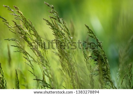 Wild plant on meadow with green grass background, sunny day #1383278894