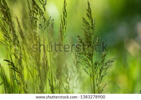 Wild plant on meadow with green grass background, sunny day #1383278900