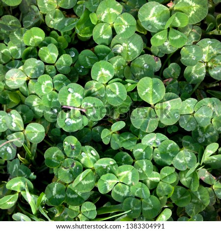 Macro photo of nature plant green clover. Background texture Clover with dew drops. Clover for good luck growing in the meadow #1383304991