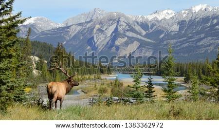 Elk in Jasper National Park, Alberta, Canada Royalty-Free Stock Photo #1383362972