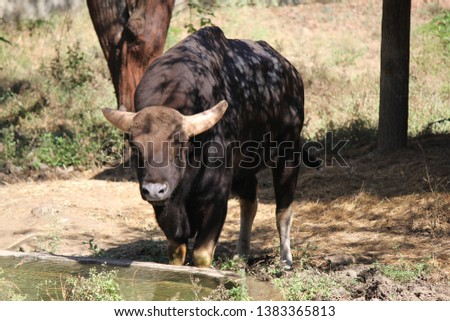 A picture of Gaur (Indian bison) , Animal or wildlife concept