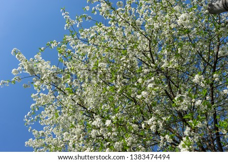 Blooming cherry tree against the blue sky. #1383474494