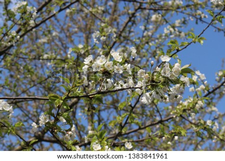 The fruit tree blooms with delicate fragrant white flowers on a sunny spring day #1383841961