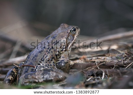 The common toad, European toad, or simply the toad (Bufo bufo) sitting in a mountain marsh #1383892877