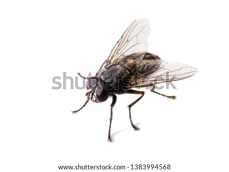 ordinary black fly sitting on a white background close-up Royalty-Free Stock Photo #1383994568
