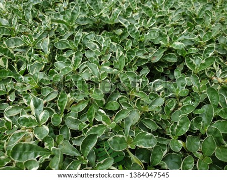 Nursery plant of Salvia Officinalis, also called Sage, Golden Sage, Common Sage, Culinary Sage, Salvia Officinalis Aurea or Salvia Icterina #1384047545
