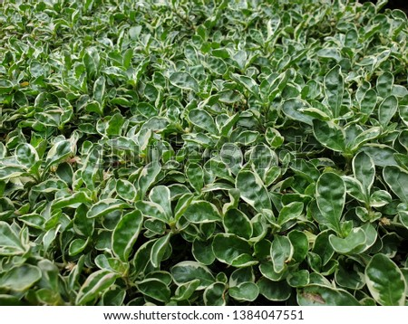 Nursery plant of Salvia Officinalis, also called Sage, Golden Sage, Common Sage, Culinary Sage, Salvia Officinalis Aurea or Salvia Icterina #1384047551