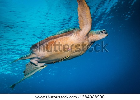 Underwater shot of a green sea turtle free swimming in deep blue ocean. Turtle's fins are raised above its body in a swimming position #1384068500