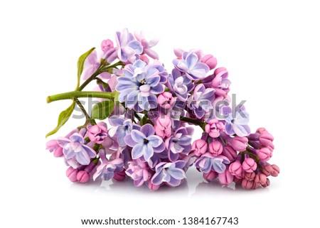 Flower purple lilac, Syringa vulgaris isolated on white background. #1384167743