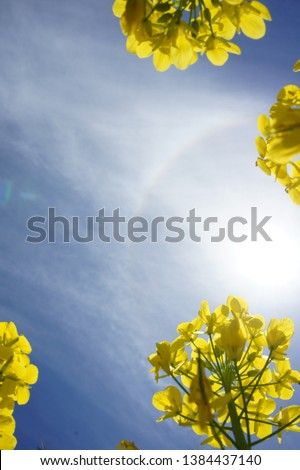 tall rape blossoms in blue sky #1384437140