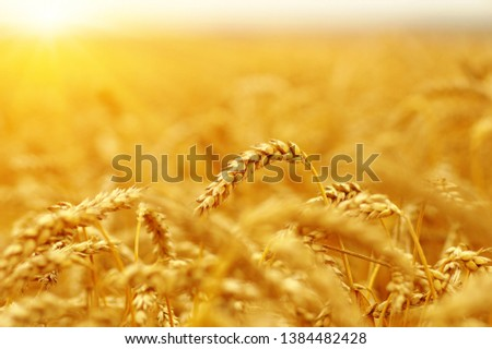 Ears of golden wheat close up. Beautiful nature sunset field background. Rural scenery of meadow under shining sunlight.  #1384482428