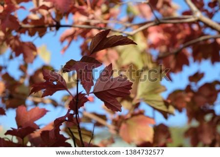 vibrant colours of autumn leaves in mount lofty botanical garden, south australia  #1384732577